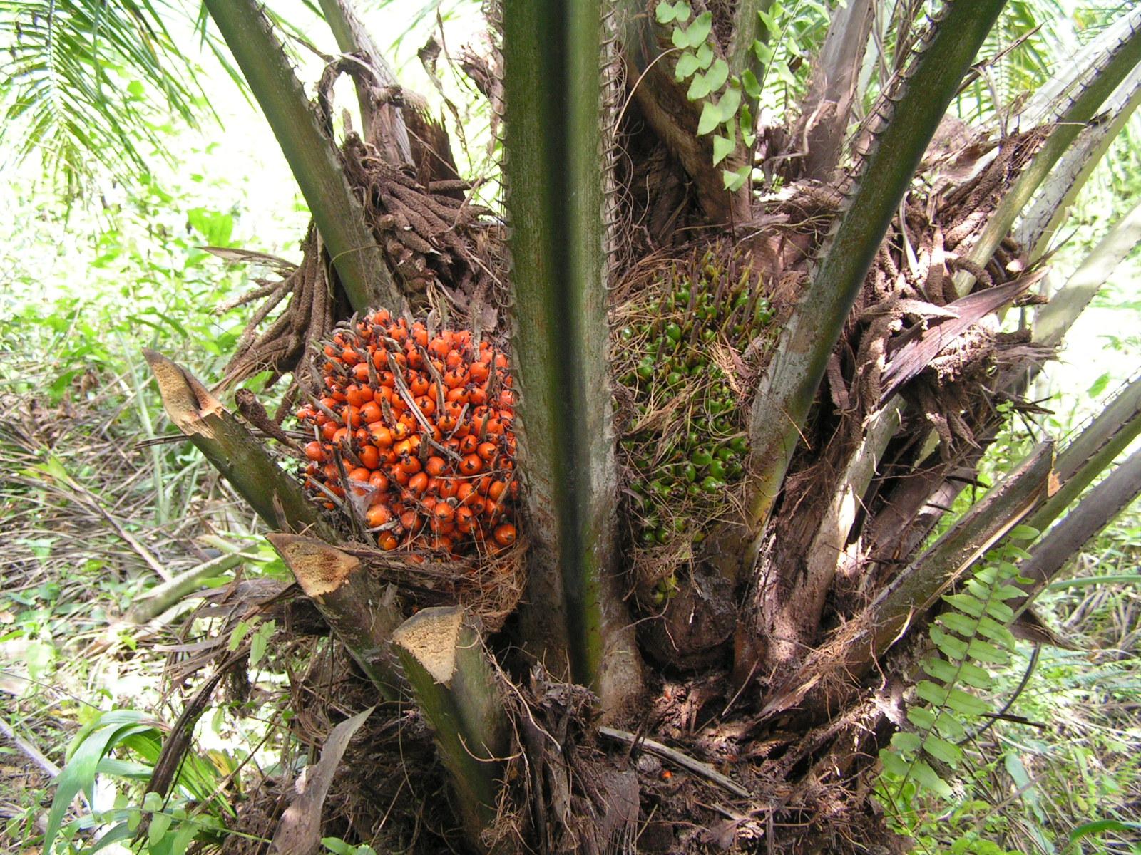 Dinas Perkebunan Tetapkan Harga Sawit Periode I Oktober, Berikut Daftarnya